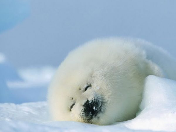 baby arctic seal